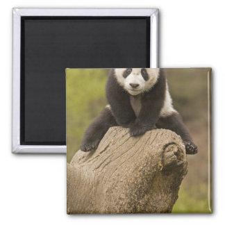 Wolong Panda Reserve, China, Baby Panda on top Magnet
