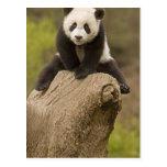 Wolong Panda Reserve, China, Baby Panda on top Postcard