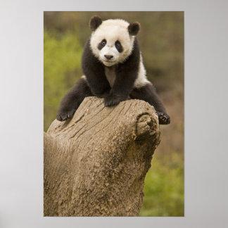 Wolong Panda Reserve, China, Baby Panda on top Poster