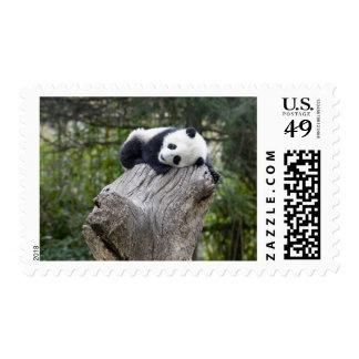 Wolong Reserve, China, Baby panda asleep Postage