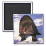Wolverine en nieve imán cuadrado
