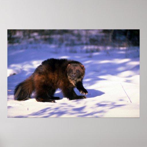 Wolverine en nieve poster