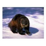 Wolverine en nieve tarjeta postal