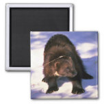Wolverine on snow 2 inch square magnet