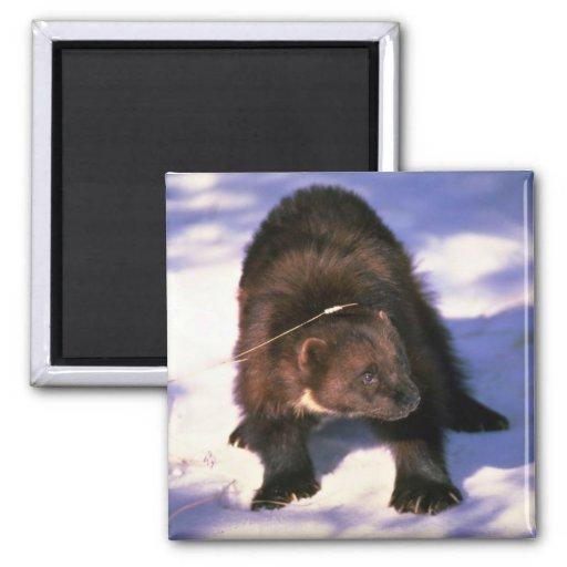 Wolverine on snow fridge magnet