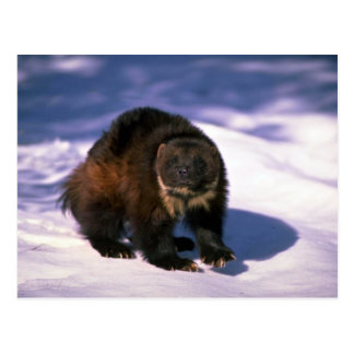 Wolverine on snow postcard