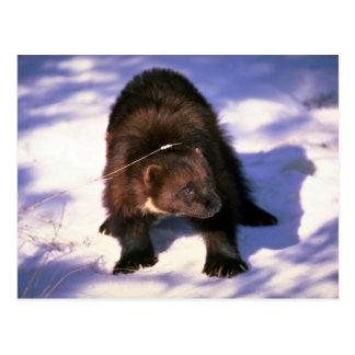 Wolverine on snow postcard