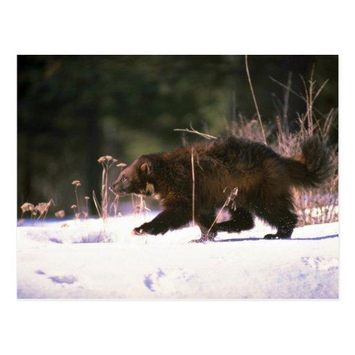 Wolverine que corre a través de nieve tarjetas postales