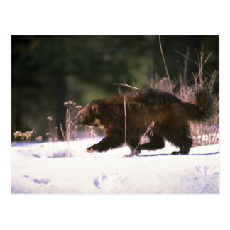 Wolverine running through snow postcard