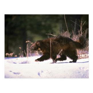 Wolverine running through snow postcard