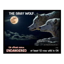 Wolves Are Endangered in California but recovering Postcard
