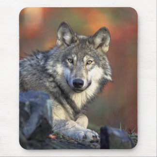 Wolves Canis_lupus_Grey Wolf Mouse Pad