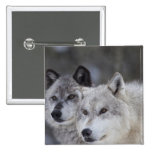 Wolves (Canus lupus) from West Yellowstone. This Buttons