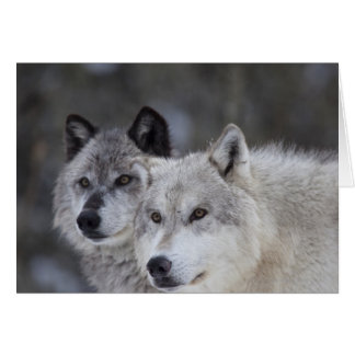 Wolves Canus lupus from West Yellowstone This Greeting Cards