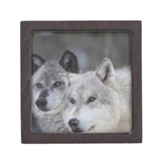 Wolves (Canus lupus) from West Yellowstone. This Gift Box