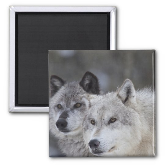 Wolves (Canus lupus) from West Yellowstone. This Magnet