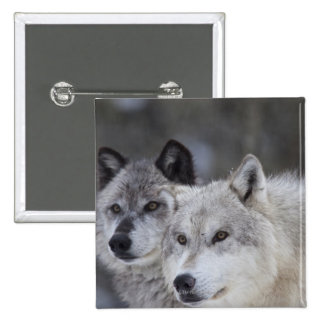 Wolves (Canus lupus) from West Yellowstone. This Pinback Button