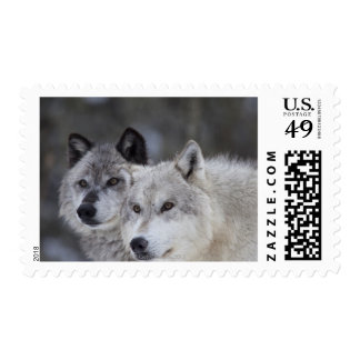 Wolves (Canus lupus) from West Yellowstone. This Postage Stamps