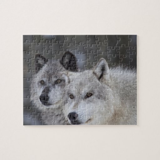 Wolves (Canus lupus) from West Yellowstone. This Jigsaw Puzzle