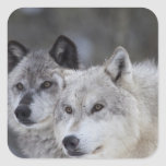 Wolves (Canus lupus) from West Yellowstone. This Sticker