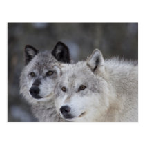 Wolves (Canus lupus) | West Yellowstone Postcard