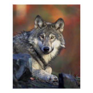 Wolves Grey Wolf Canis_lupus Poster