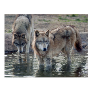 Wolves Grey Wolf Postcard