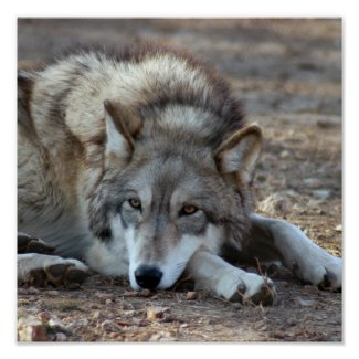 Wolves, Grey Wolf Poster
