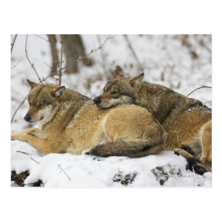 Wolves in the Bawarian Wood Postcard