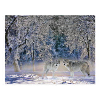 Wolves of Yellowstone Postcard