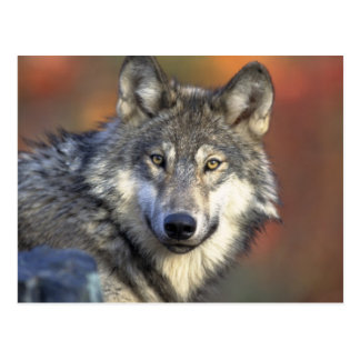 Wolves Wolf Animals Wild Nature Forest Post Card