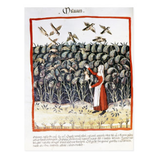 Woman Protecting her Crop of Millet Postcard