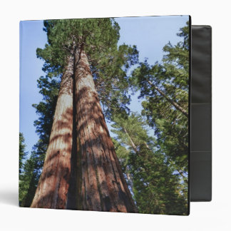 Woman videotaping at base of massive Sequoia 3 Ring Binder