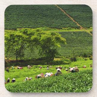 Women Harvesting Tea Beverage Coaster