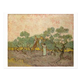 Women Picking Olives, Vincent van Gogh Postcard