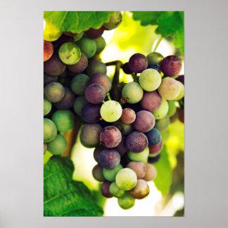 Wonderful Vine Grapes,  Autumn Fall Sun Poster