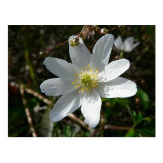 Wood Anemone Flower Postcard