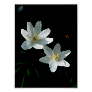 Wood Anemone Flower Value Poster Paper (Matte)