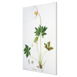 Wood Anemone from 'Phytographie Medicale' by Josep Canvas Print
