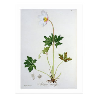 Wood Anemone from 'Phytographie Medicale' by Josep Postcard