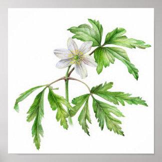 Wood anemone watercolor art poster