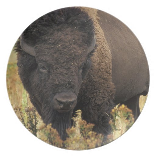 Wood Bison Plate