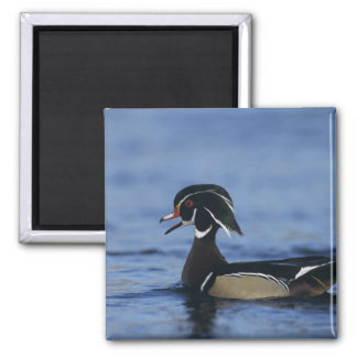 Wood Duck, Aix sponsa,male calling, New 2 Inch Square Magnet