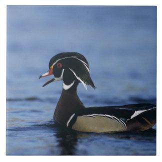 Wood Duck, Aix sponsa,male calling, New Tile