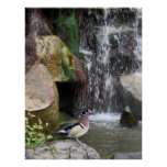 Wood Duck by the Falls Posters