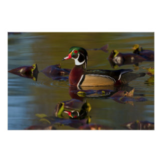 Wood Duck Drake 1 Poster
