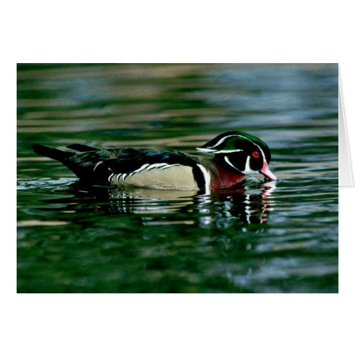 Wood Duck (Drake) Cards
