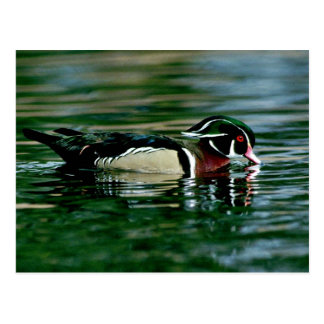 Wood Duck (Drake) Postcard
