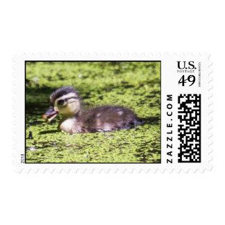 Wood Duck Duckling Stamp