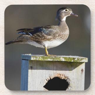 Wood Duck female on nest box in wetland Beverage Coaster